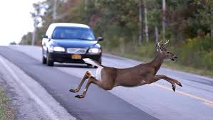 deer-in-roadway